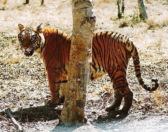 The magnificent, elusive Royal Bengal Tiger of India's Sunderban Delta.